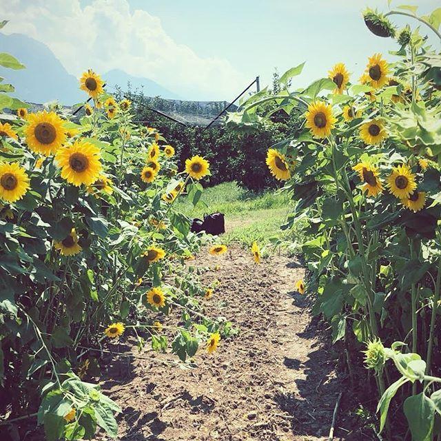 Sunflower fields on Lake Garda